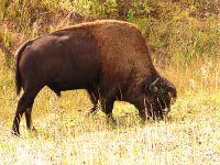 Bison 03