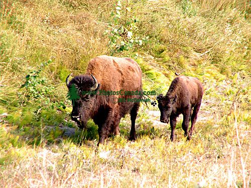 Bison and Calf 06