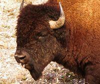 Bison 02