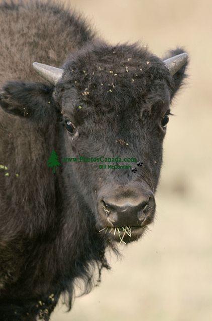 Bison Calf, Elk Island National Park, Alberta, Canada CM-03