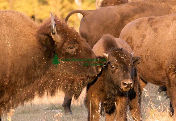 Bison, Elk Island National Park, Alberta, Canada CM-01