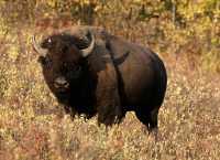 Bison, Elk Island National Park, Alberta, Canada CM-04