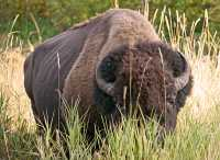 Bison, Elk Island National Park, Alberta, Canada CM-05