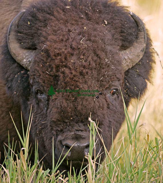 Bison, Elk Island National Park, Alberta, Canada CM-06