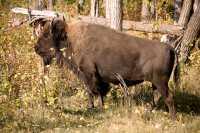 Bison, Elk Island National Park, Alberta, Canada CM-07
