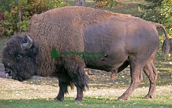 Bison, Elk Island National Park, Alberta, Canada CM-08
