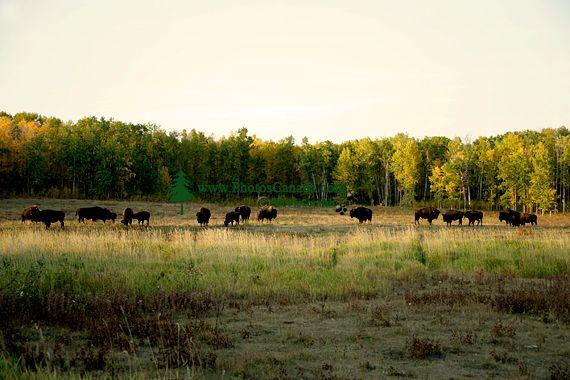 Bison Herd, Elk Island National Park, Alberta, Canada CM-09