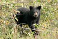 Bear Cub in Tree, British Columbia, Canada CM11-039