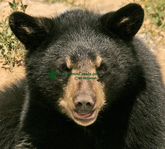 Black Bear Cub, British Columbia, Canada CM11-001