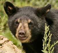Black Bear Cub, British Columbia, Canada CM11-002