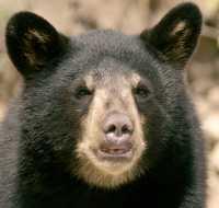Black Bear Cub, British Columbia, Canada CM11-003