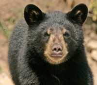 Black Bear Cub, British Columbia, Canada CM11-004