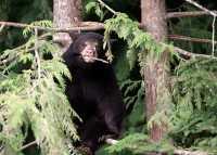 Black Bear Cub in Tree, British Columbia, Canada CM11-033