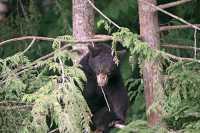Black Bear Cub in Tree, British Columbia, Canada CM11-034