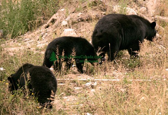 Black Bear Family, British Columbia, Canada CM11-007