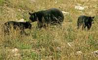 Black Bear Family, British Columbia, Canada CM11-008