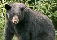 Black Mother Bear, British Columbia, Canada CM11-005