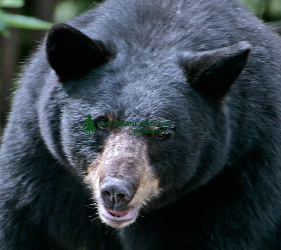 Black Mother Bear, British Columbia, Canada CM11-006