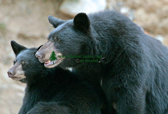Black Mother Bear and Cub, British Columbia, Canada CM11-008