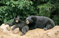 Black Mother Bear and Cubs, British Columbia, Canada CM11-031
