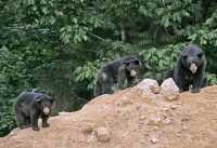 Black Mother Bear and Cubs, British Columbia, Canada CM11-013