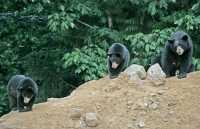 Black Mother Bear and Cubs, British Columbia, Canada CM11-014