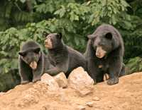 Black Mother Bear and Cubs, British Columbia, Canada CM11-015