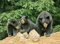 Black Mother Bear and Cubs, British Columbia, Canada CM11-016