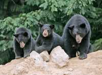 Black Mother Bear and Cubs, British Columbia, Canada CM11-017