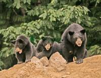Highlight for Album: Black Bear Mother and Cub Photos, Canadian Wildlife Stock Photos