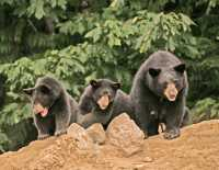 Black Mother Bear and Cubs, British Columbia, Canada CM11-018