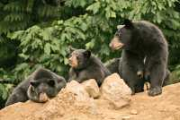 Black Mother Bear and Cubs, British Columbia, Canada CM11-019