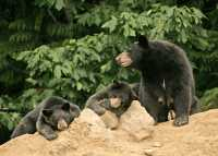 Black Mother Bear and Cubs, British Columbia, Canada CM11-020