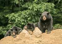 Black Mother Bear and Cubs, British Columbia, Canada CM11-021