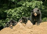 Black Mother Bear and Cubs, British Columbia, Canada CM11-022