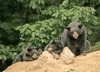 Black Mother Bear and Cubs, British Columbia, Canada CM11-023