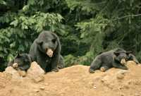 Black Mother Bear and Cubs, British Columbia, Canada CM11-024