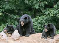 Black Mother Bear and Cubs, British Columbia, Canada CM11-026
