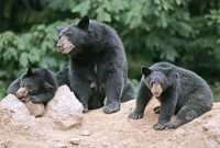 Black Mother Bear and Cubs, British Columbia, Canada CM11-027