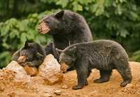 Black Mother Bear and Cubs, British Columbia, Canada CM11-028
