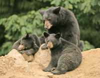 Black Mother Bear and Cubs, British Columbia, Canada CM11-029