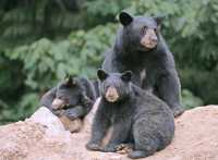 Black Mother Bear and Cubs, British Columbia, Canada CM11-030