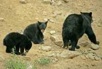 Black Bear Family, British Columbia, Canada CM11-036