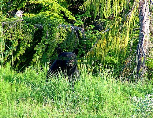 Black Bear 03