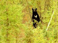 Black Bear, Northwest Territories, Canada 22