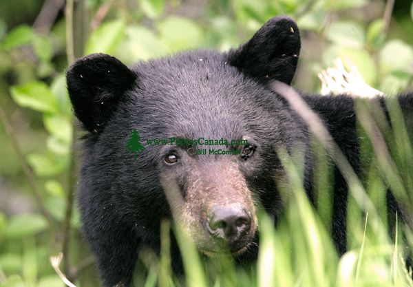 Black Bear,(June 2008) Nass Valley, British Columbia, Canada CM11-26
