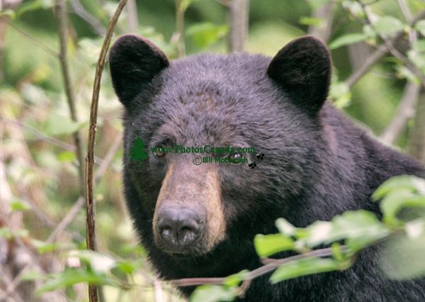 Black Bear,(June 2008) Nass Valley, British Columbia, Canada CM11-25