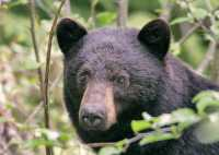 Black Bear,(June 2008) Nass Valley, British Columbia, Canada CM11-25
