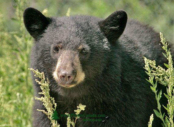 Black Bear, British Columbia, Canada CM11-54