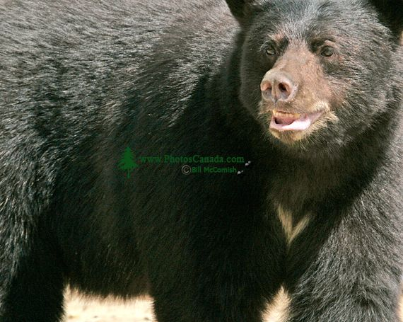 Black Bear, British Columbia, Canada CM11-53